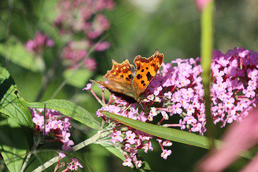 Butterfly, Lilac, Edelfalter, Purple, C Falter