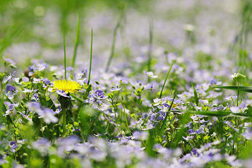 Dandelion, Meadow, Plant, Flower, Grass, Spring