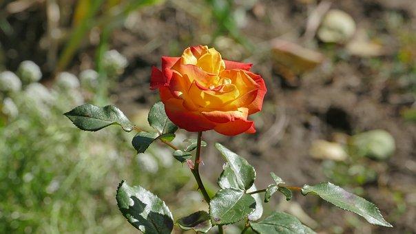 Rose, Flower, Romantic, Plant, Beauty, Love, Garden