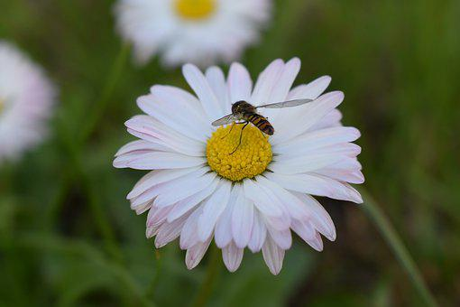 Flower, White, Yellow, Garden, Daisy, Blooming