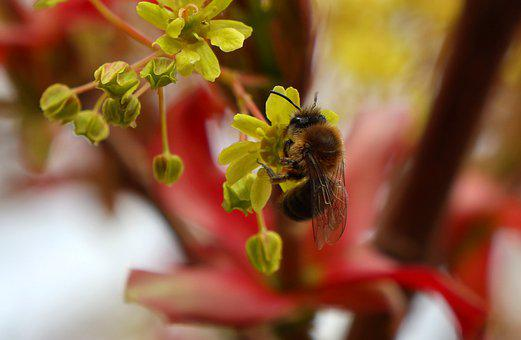 Maple, Hummel, Insect, Close Up, Pollination, Bee