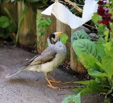 Bird, Noisy Miner, Honey Eater, Wildlife, Garden
