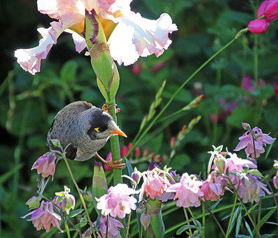 Bird, Noisy Miner, Honey Eater, Iris, Flowers, Wildlife