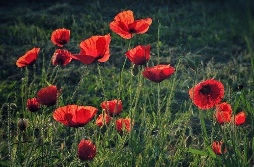 Poppy Flower, Poppies, Fields, Wild Meadow, Red