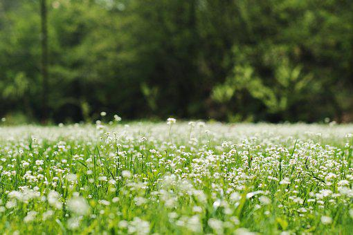 Meadow, Flowers, Nature, Flower, Field, Grass, Spring