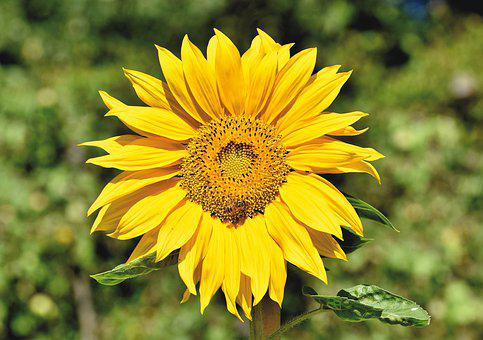 Sunflower, Blossom, Bloom, Yellow, Bloom, Plant, Flower