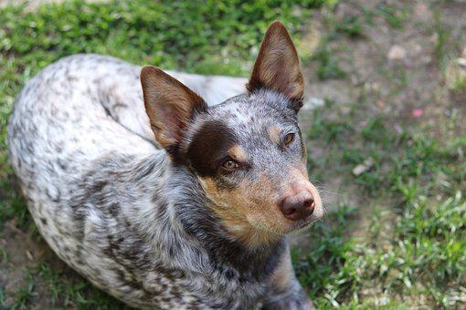 Gus, Cattle Dog, Chocolate, Adopted