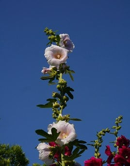 Althaea Rosea, Hana Aoi, White, Pink, Flowers, Bud