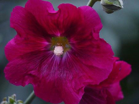 Althaea Rosea, Hana Aoi, Red Purple, Red, Flowers, Bud