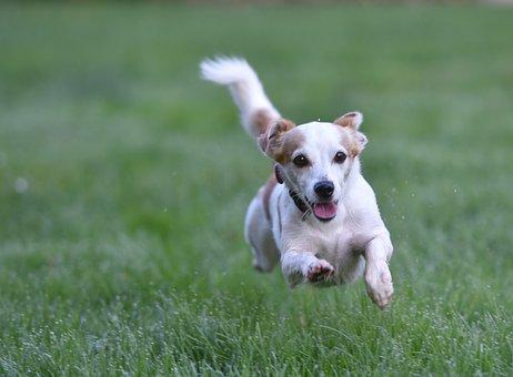 Dog, Meadow, Dog On Meadow, Animal, Terrier