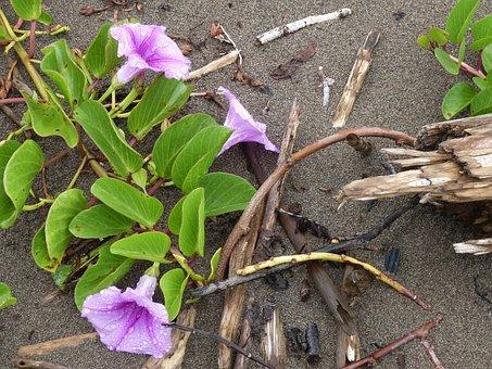 Beach, Sand, Pacific, Flower, Winds, Bindweed, Climber