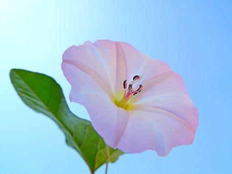 Flower, Bindweed, White, Pink, Weed