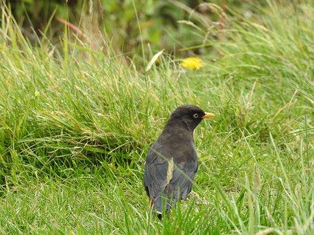 Ave, Black Bird, Yellow Beak, Animal, Bird, Field