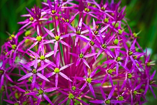Ornamental Onion, Flower, Blossom, Bloom, Purple, Plant