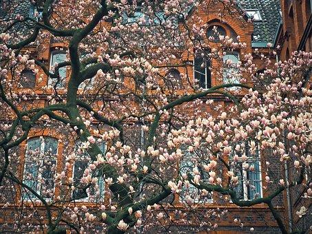 Magnolia, Tree, Blossom, Bloom, Spring, Garden, Nature