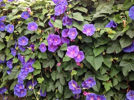 Blue Flowers, Morning Glory, Creeper, Wall Covers