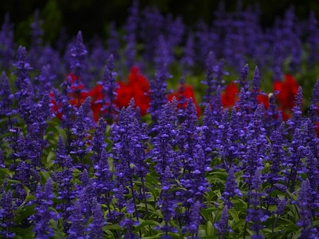 Blue Sage, Flowers, Blue-violet, Red, Leaf, Green
