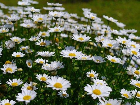 Daisy, Margaret, Flowers, White, Chrysanthemum, Green