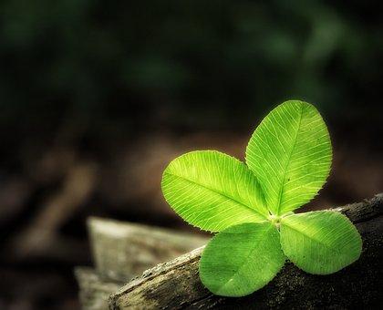 Four Leaf Clover, Luck, Clover, Lucky Clover, Klee