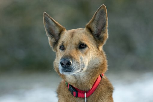 Dog, Crossbreed, Mixed Breed, German Shepherd X
