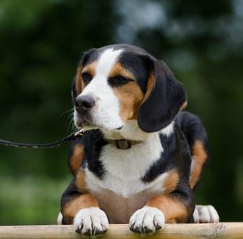 Hybrid, Cute, Beagle Mixed Breed, Funny, Fur, Attention