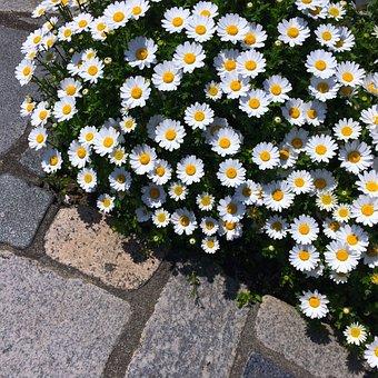Daisy, Margaret, Flower Bed, Flowers, White