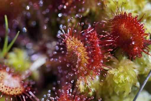 Sundew, Carnivore, Plant, Sticky, Droplets, Tentacles