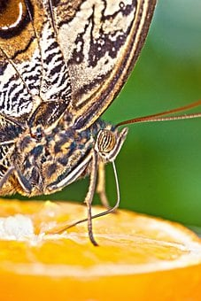 Caligo Eurilochus, Eyes, Butterfly, Exotic, Tropics