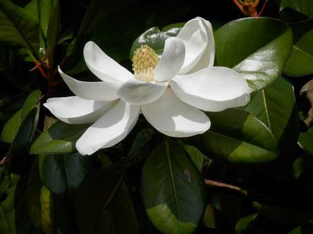 Southern Magnolia, Magnolia Grandiflora, Tree, Flower