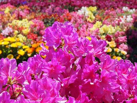 Satsuki, Flowers, Pink, Green, Many, Cute, Fragrance