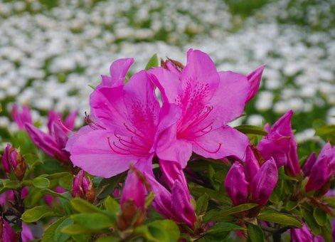 Flowers, May, Satsuki, Flowering, Otsu Park, Yokosuka