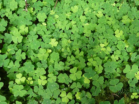 Klee, Green, Plant, Nature, Red Clover