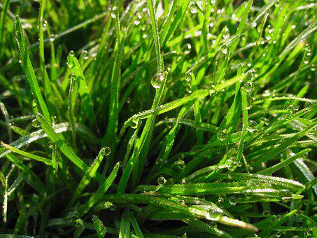 Weed, Green, Drop Of Water, The Morning Dew, Water