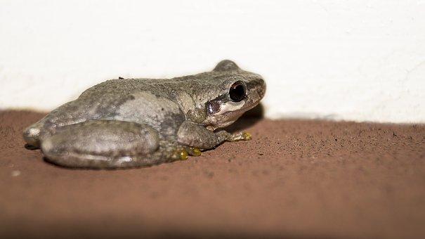 Frog, Toad, Animal, Amphibian, Nature, Green, Wildlife
