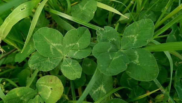 Four Leaf Clover, Vierblättrig, Lucky Charm, Luck, Klee
