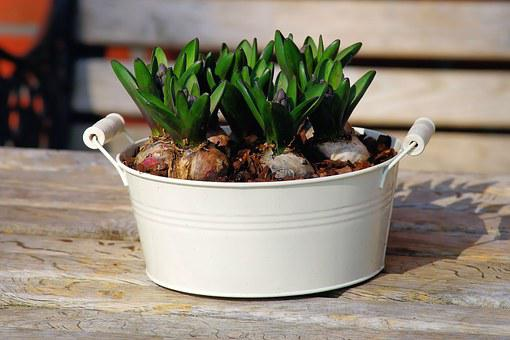 Hyacinth, Container, Onions, Basket, Metal, White