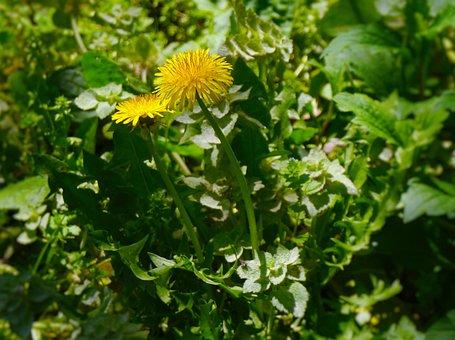 Dandelion, Flowers, Wild, Autogenous, Yellow, Otsu Park