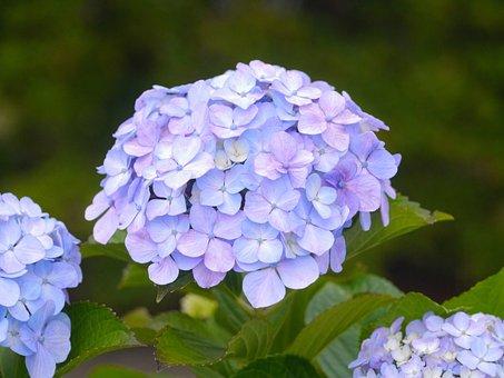 Pastel, Color, Hydrangea, Purple, Blue, Midori, Green