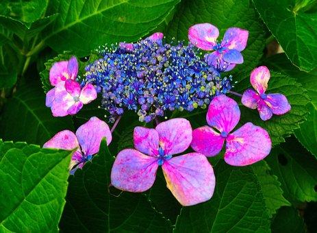 Hydrangea, Red, Purple, Blue, Otsu Park, Yokosuka