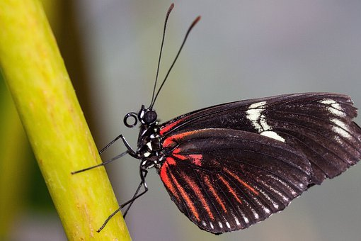 Papilio Rumanzovia, Butterfly, Red, Black, White