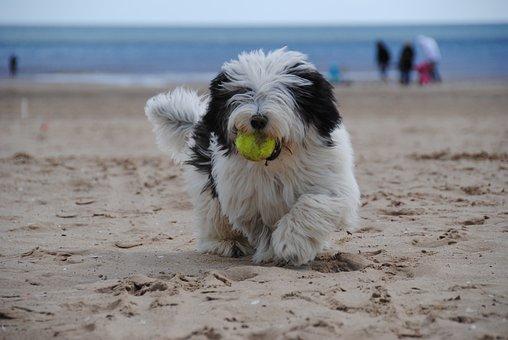 Dog, Beach, Puppy, Sheepdog, Sea, Sand, Dog Playing