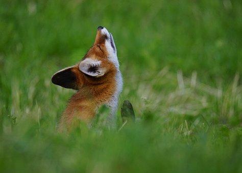 Fox, Animal, Serfdom, Canids, Animals, Dolomites
