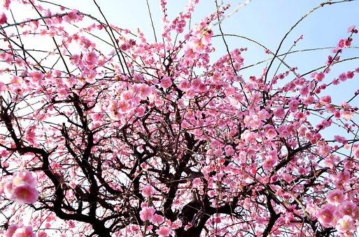 Winter, Flowers, Plum Blossoms, Arboretum, Tokyo, Bud