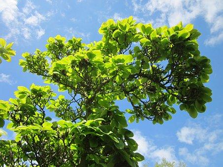Magnolia Soulangeana, Saucer Magnolia, Tree, Plant