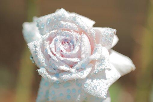Macro, Up Close, Rose, Flower, Water, Spray, Watercolor