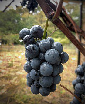 Grapes, A Bunch Of, Autumn, Berry, Nature, Sweet, Ripe
