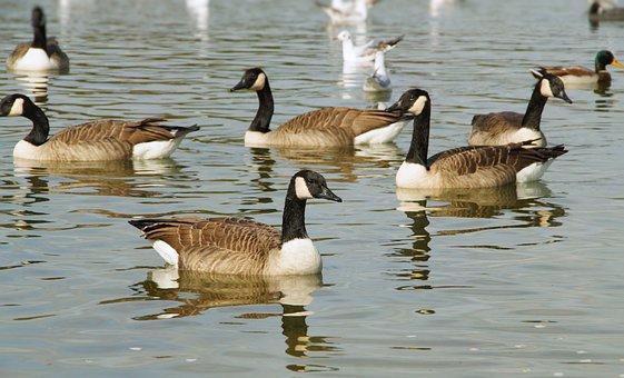 Canada Geese, Goose, Waterfowl, Swim, Lake, Waters