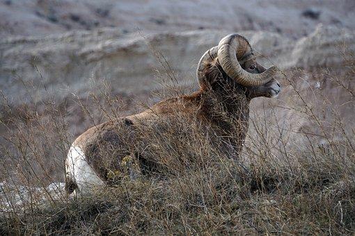 Badlands, South Dakota, Ram, Bighorn Sheep