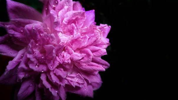 Rose, Pink, Flower, Nature, Love, Romantic, Bloom
