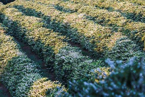 Coffee, Coffee Plantation, Flowers, Spring, Brazil